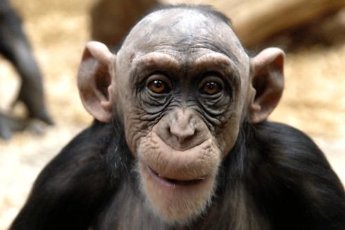 5309=79-bald-monkey.jpg