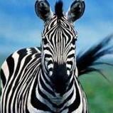 Zebra555