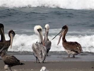 1499134054_pelicans(317x238).jpg.1a3626039876542a6d30f2d02360d37b.jpg